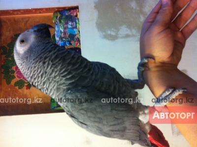 Продам попугая жако краснохвостого,самец,1год,абсолютно... в городе Алматы