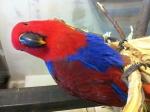 Продам попугая эклектуса, самочка... в городе Алматы
