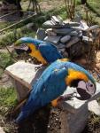 Продам попугаев ара, синежелтый...  на Автоторге