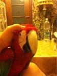 Продам попугаев ара, синежелтый... в городе Алматы