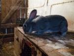 Продаю Кроликов мясных пород... в городе Караганда