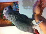 Продам попугая жако краснохвостого,самец,1год,абсолютно...  на Автоторге